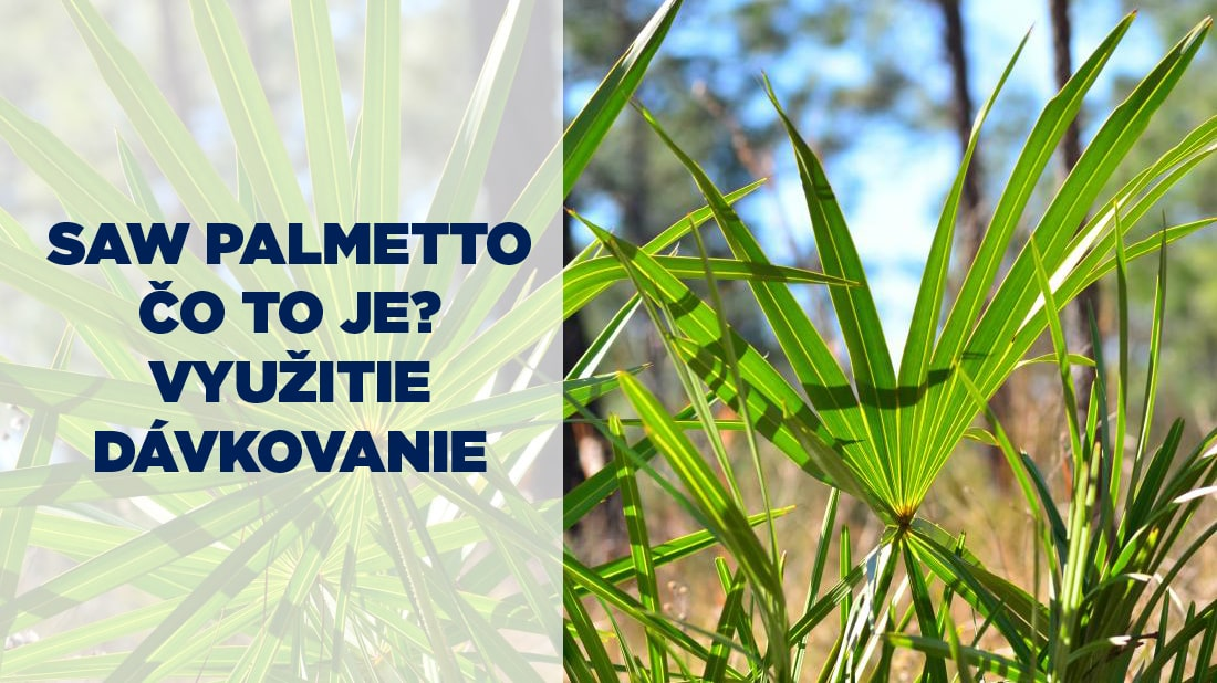 Saw palmetto rastlina, listy